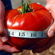 24kinds Nutritious Tomato Seed Rare Huge tomato seeds Bonsai Organic Vegetable fruit seeds Potted plant for Home & Gardens 50PCS