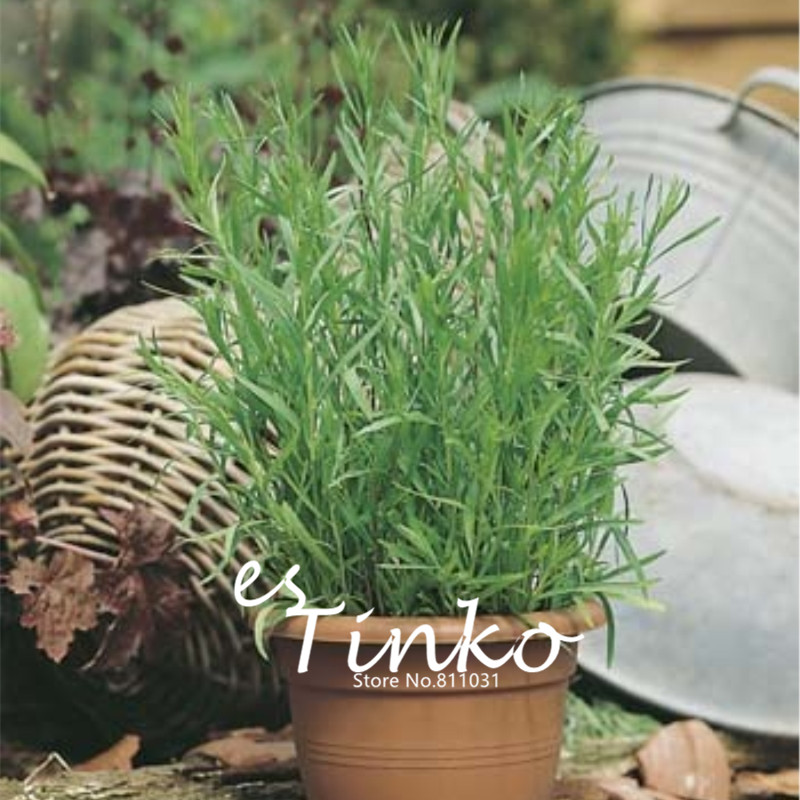 how to grow tarragon from seed