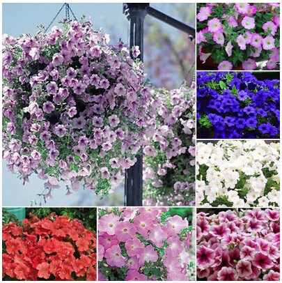 hanging petunia seeds,garden Petunia, Petunia Seeds, Mixed color – 200 seeds/lot