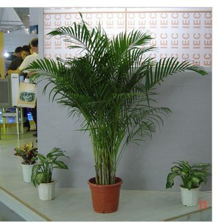 Air purifying phoenix bamboo seed lounges indoor plants flowers miniascape 50 grain