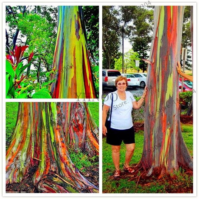 Free Shipping 100pcs Bag Rare Rainbow Eucalyptus Flores Bonsai Tree Plantas Potted Courtyard