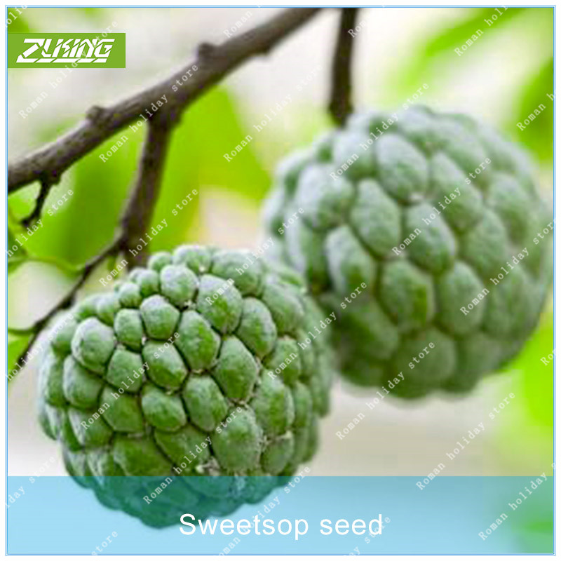 Zlking 1 Professional Pack New Home Garden Bonsai Plant 3 Sapindus Mukorossi Soap Nut Soapberry Bonsai Tree Garden Supplies