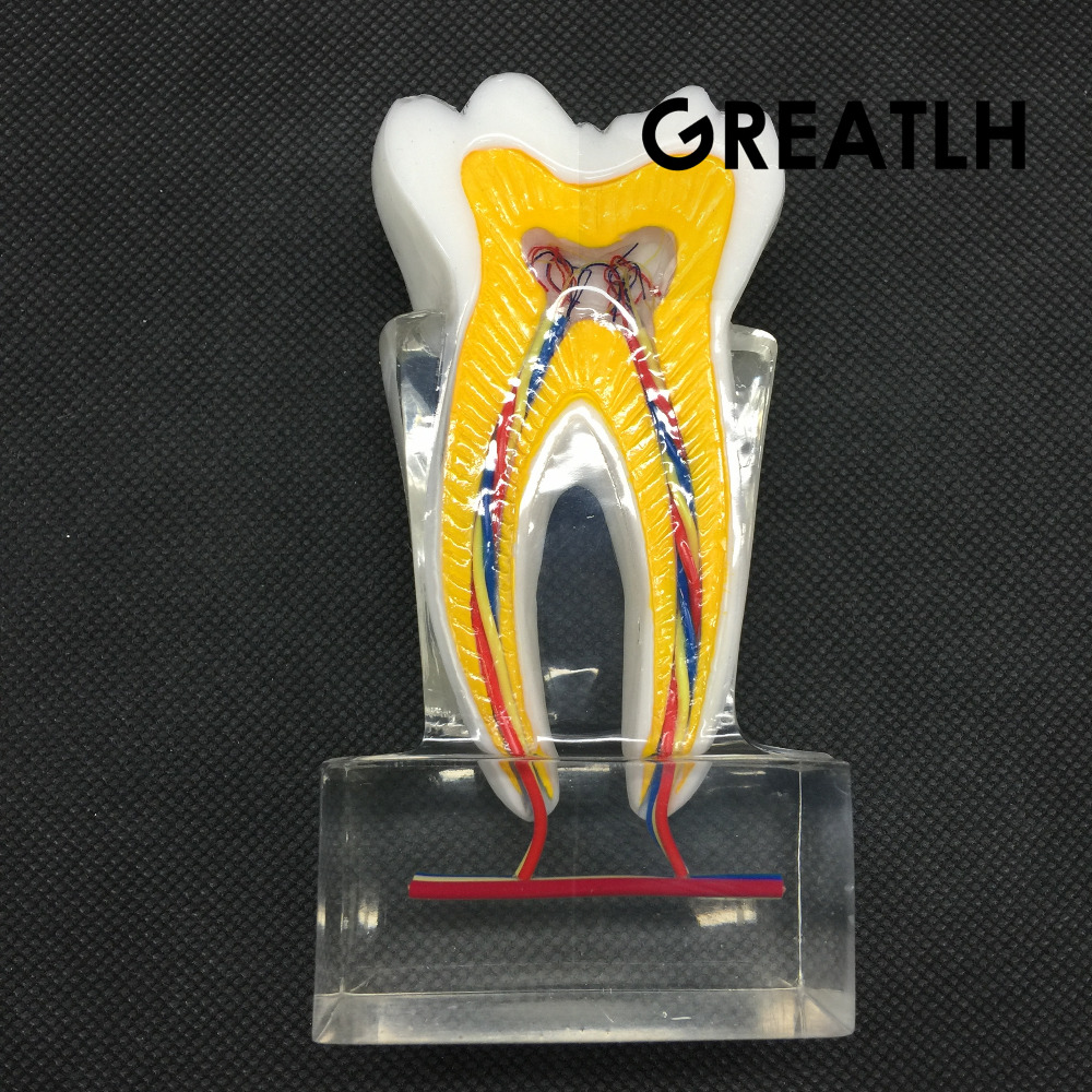 Dental Anatomical Molar Model 2017 molar inner structure with nerves and vessels luminous vessels