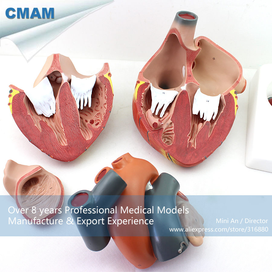 12487 CMAM-HEART11 Magnified Human Heart Anatomy Model, Medical Science Educational Teaching Anatomical Models cmam viscera01 human anatomy stomach associated of the upper abdomen model in 6 parts