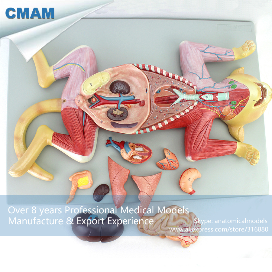 12010 CMAM-A29 Pet Cat Organ Anatomy Model , Animal Anatomical Models for Veterinarian's Reference 12005 cmam a05 dog acupuncture model animal acupuncture models for veterinarian s reference