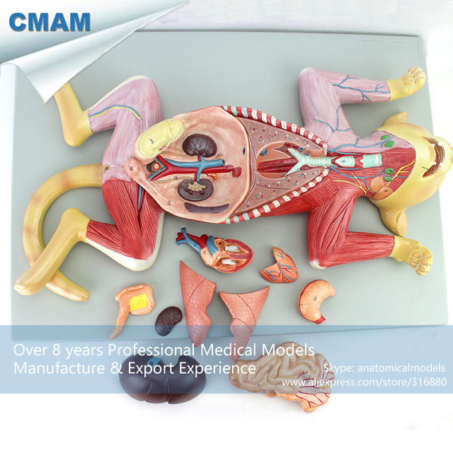 Aliexpress.com : Buy 12010 CMAM A29 Pet Cat Organ Anatomy Model ...