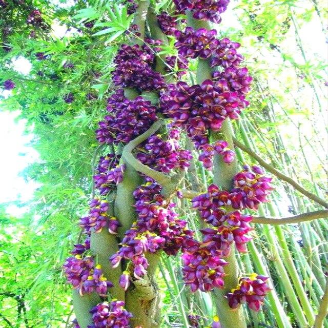 Aliexpress Buy 10 Pcs Mucuna Birdwoodiana Seeds Exotic – Rare Garden Plants