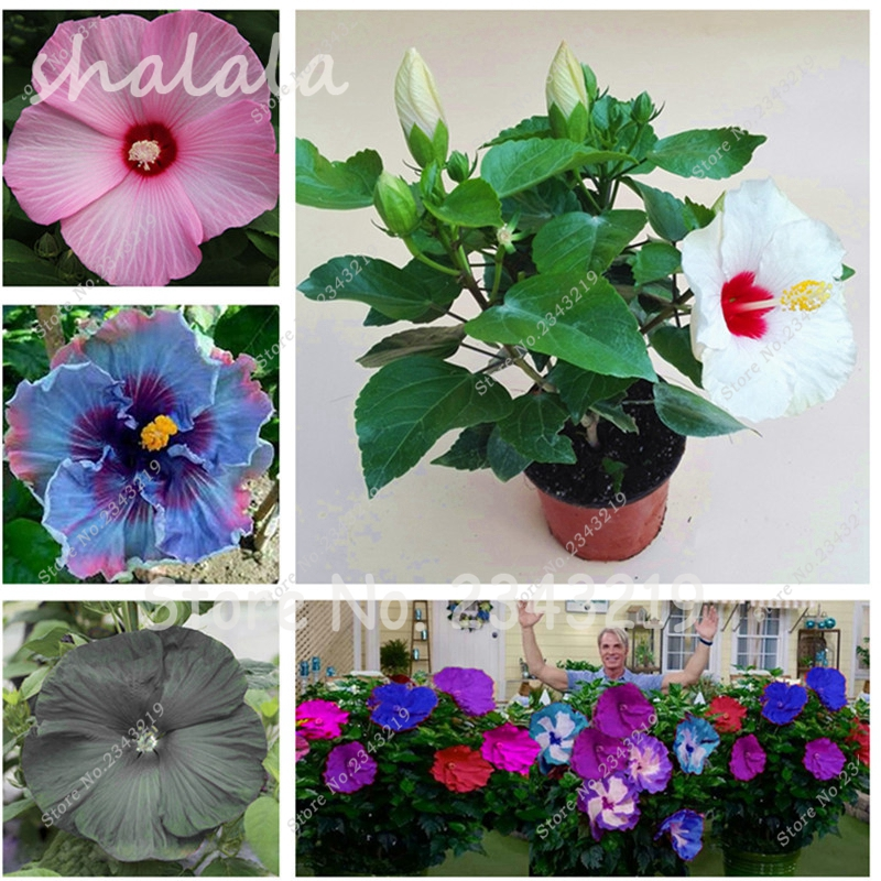 hibiscus fleurs-achetez des lots à petit prix hibiscus fleurs en