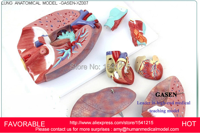 PATHOLOGY LUNG MODEL, DEPARTMENT OF INTERNAL MEDICINE MODEL,PULMONARY ANATOMY,PULMONARY ANATOMIC MODEL-GASEN-XZ007 waterproof 2000 lumen led cree xml2 u2 led cycling bicycle bike usb 18650 light lamp headlight headlamp headlight strips charger