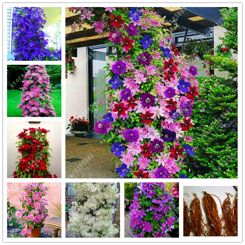 Set Of 10 Country Garden Flower Seed Wedding Favours With: Real Climbing Clematis Bulbs,clematis Tree Bulbs