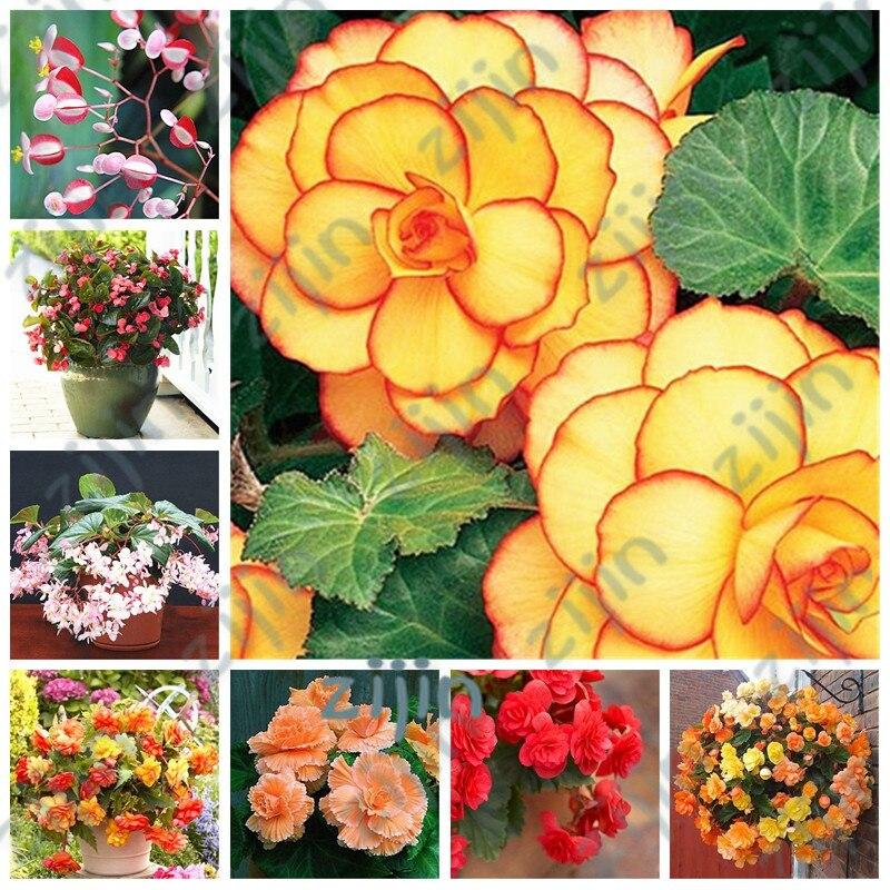 100pcs Mixed Begonia Flower Potted Bonsai Indoor Decoratie