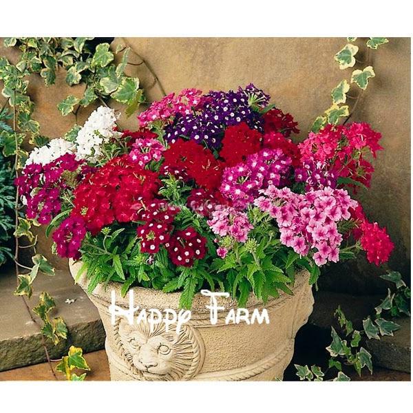 Verveine fleur verbena hybrida impatiens salles chez for Fleurs vente