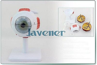 Magnify Human Anatomical Eyeball Anatomy Medical Model + Stand