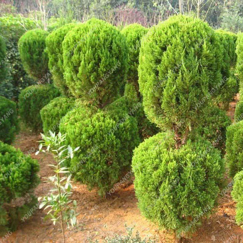 100pcs Blue Cypress Trees plants Rare Platycladus Orientalis Oriental Arborvitae plants Conifer plants DIY Home Garden - 3326-b9b1f4.jpg