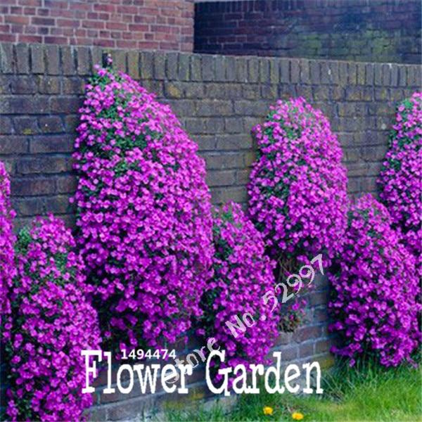 Rock Cress, 100 Seeds/pack Superb perennial ground cover Aubrieta Cascade Purple Flower Seeds for home garden