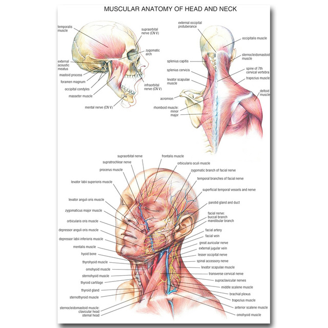 Human Anatomy Head Neck Art Silk Poster 13×20 20×30 Inch Body System Pictures Medical Education 003