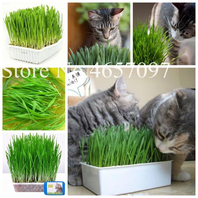1000 Pcs Cat Grass Plant Herb Edible Lemongrass Kitchen Vegetable Bonsai Medicinal Use Graines Legumes Potager DIY Home Garden