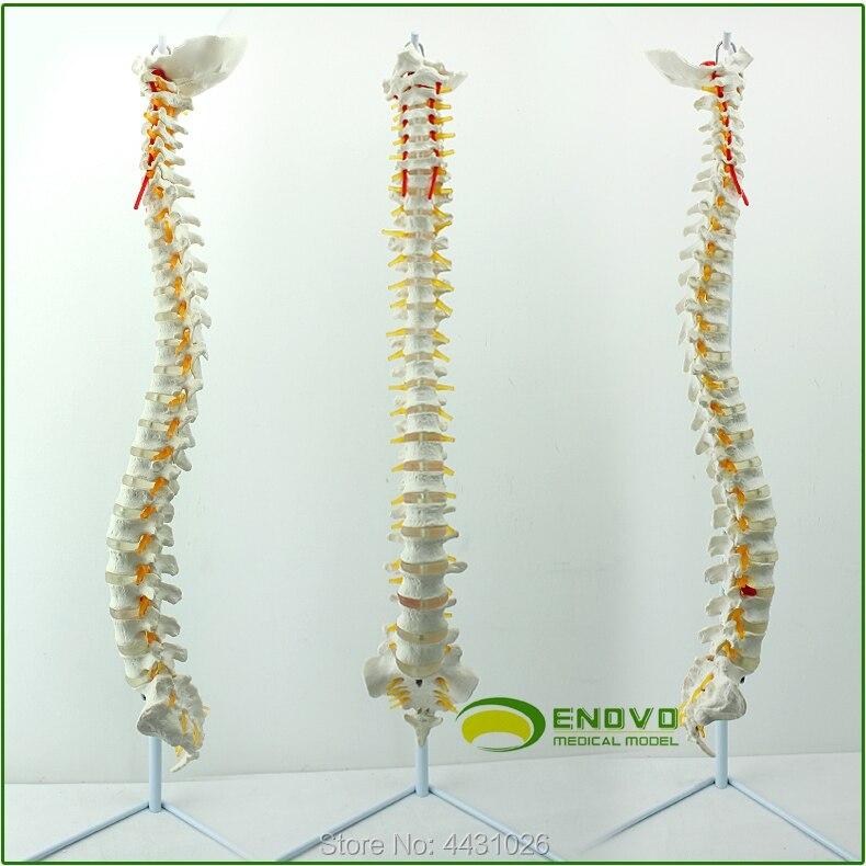 ENOVO A 1:1 human spine model of orthopedic manipulation of orthopaedic vertebraeENOVO A 1:1 human spine model of orthopedic manipulation of orthopaedic vertebrae