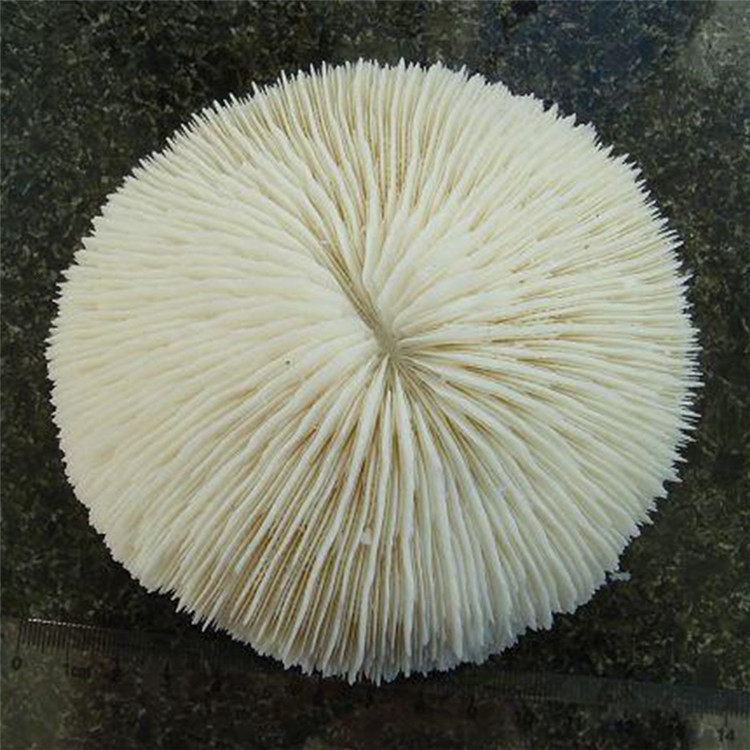 New Rare Natural Mushroom Coral Beautiful Aquarium  Fish Tank Ornaments Landscape Ocean Corals Decration Natural Conch Shells