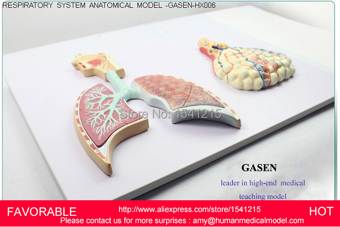 ANATOMICAL MODEL,LIFE SIZE HUMAN ANATOMICAL THROAT BRONCHI ANATOMY MEDICAL MODEL,BRONCHI SYSTEMATIC ANATOMY MODEL-GASEN-HX006 skin model dermatology doctor patient communication model beauty microscopic skin anatomical human model