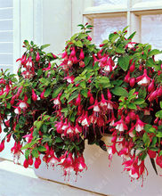 bonsai Fuchsia plants lantern flower indoor balcony bonsai flower for home garden planting(China)