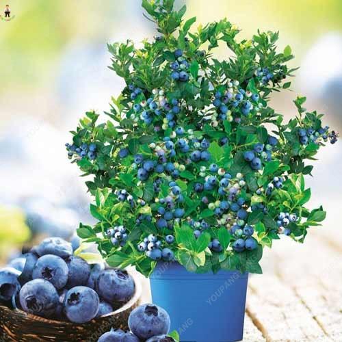 50 pz rare Mirtillo Bonsai Albero Da Frutto Highbush Mirtilli FAI DA TE Countyard piante per giardino facile da coltivare per l'inverno della decorazione