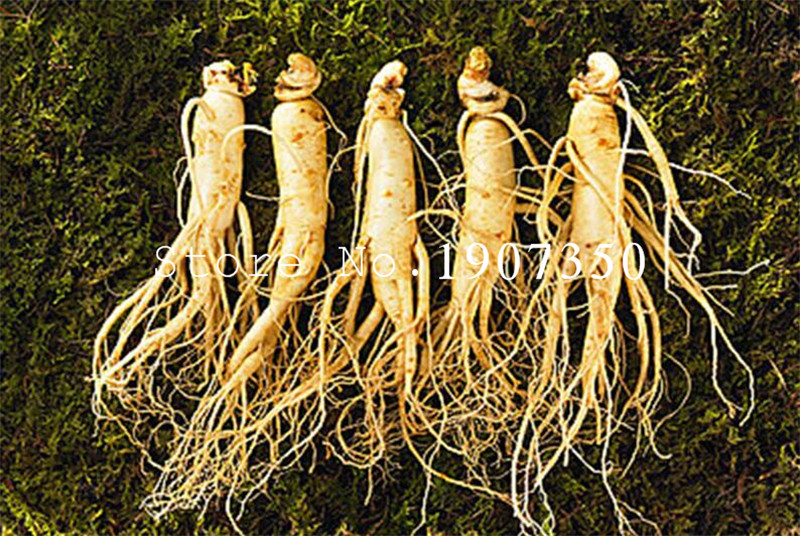 100 Pcs Chinese Hardy Panax Ginseng Korea Ginseng Bonsai King Of Herbs Plants Home High-nutrition Vegetable And Fruit