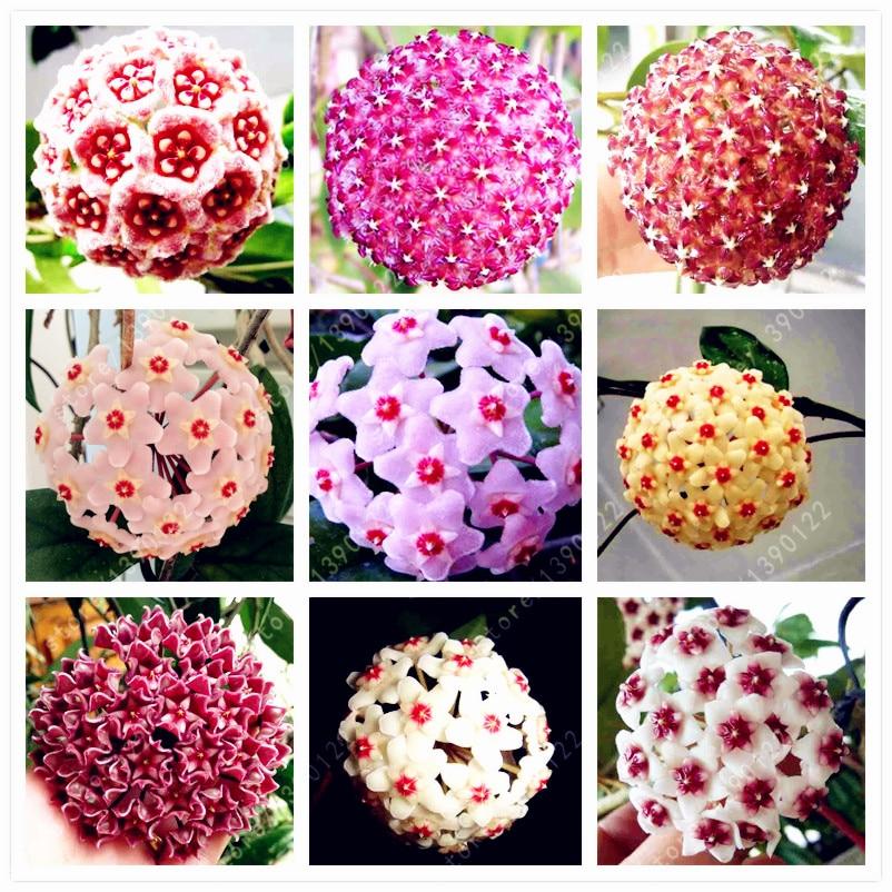 20pcs/bag orchid ball, rare ball orchid flower,Perennial Plant hoya carnosa seed,bonsai flower seeds,pot plant for home garden