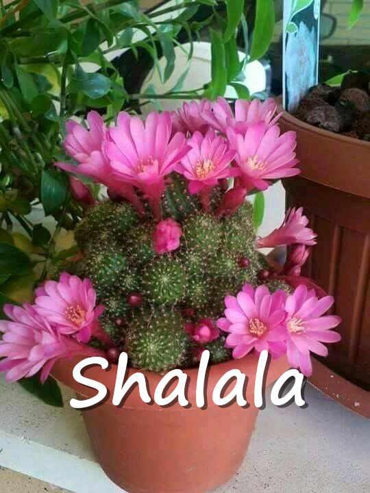 100 шт мини экзотические кактус бонсай японские Редкие суккулентов цветок декоративные растения Многолетние цветы сад