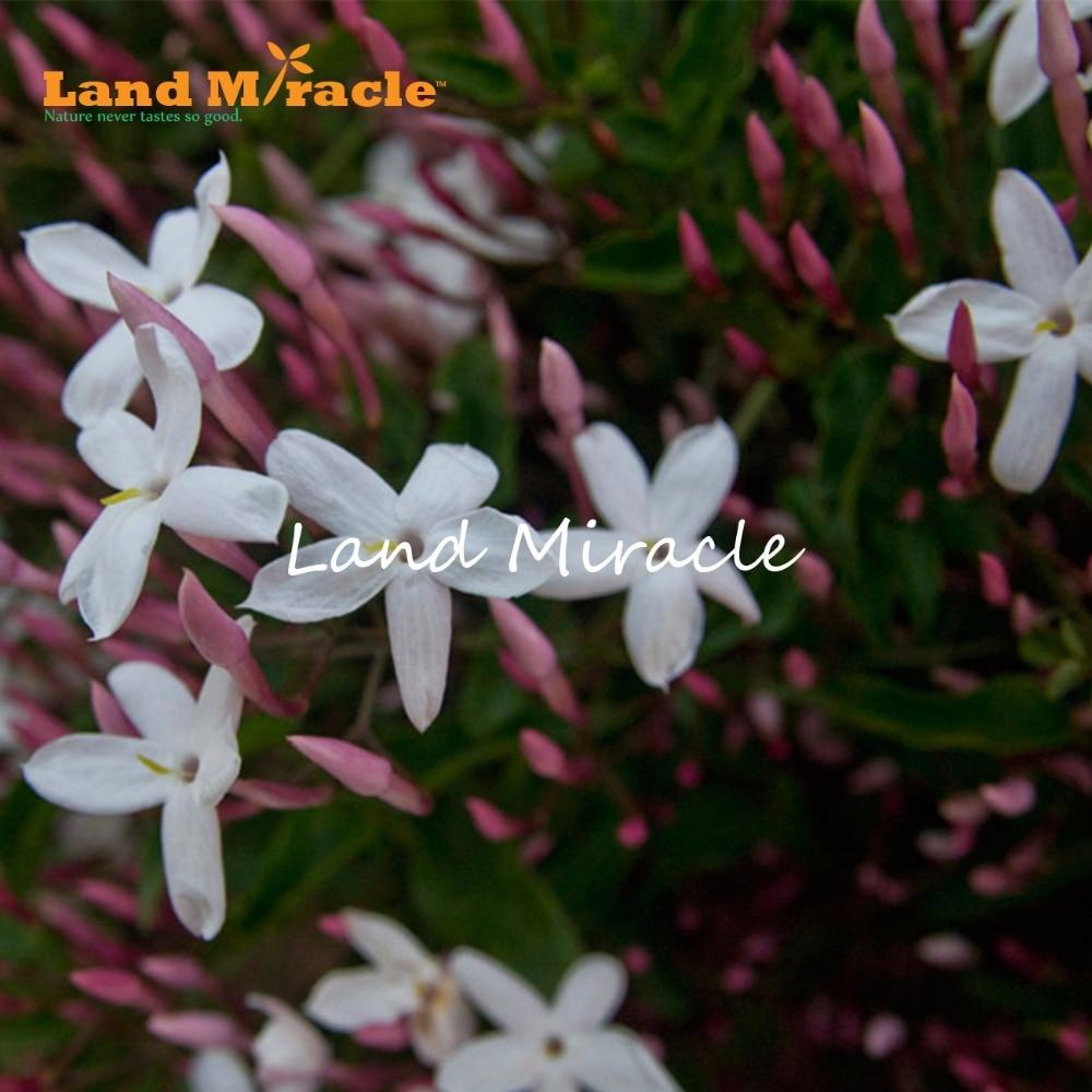 Land Miracle Heirloom 100 True Orange Jasmine Shrub With Fragrant