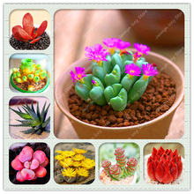 100 Pcs/Lot Lithops Flower Bonsai Plants Semo 24 Species Rare Succulent Stone Flower Potted Planting for Home Garden Decoration
