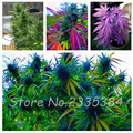 New Arrivals Home Garden Planting 100 Pcs Seeds Indian Hemp Multi Color Flower Seeds Hot Sale