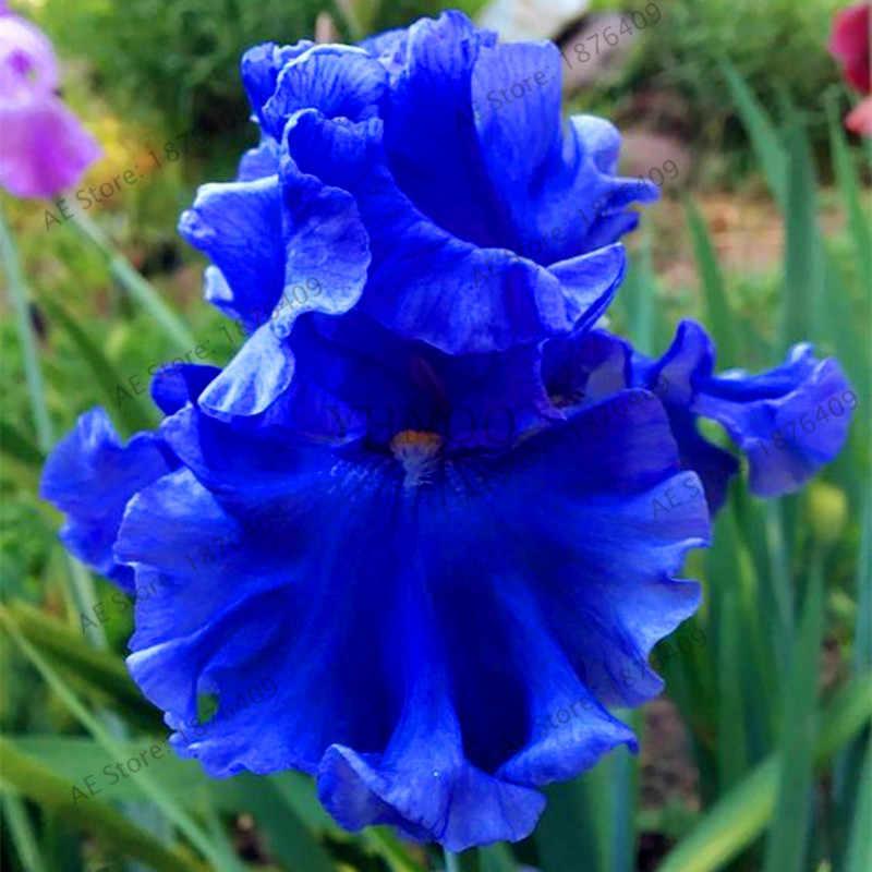 50 pçs/saco Iris orquídea flores, Planta bonsai borboleta íris plante, flor plantas perenes, plantas para casa jardim