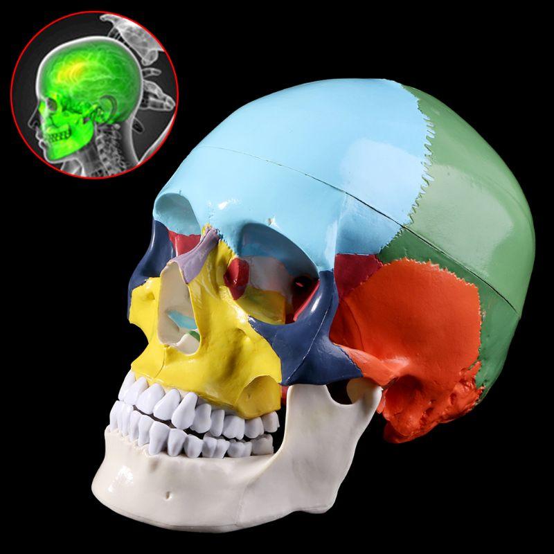 Vie Taille Coloré Modèle Anatomie Anatomique Médical Enseignement Squelette Tête Étudiant L'enseignement Fournitures