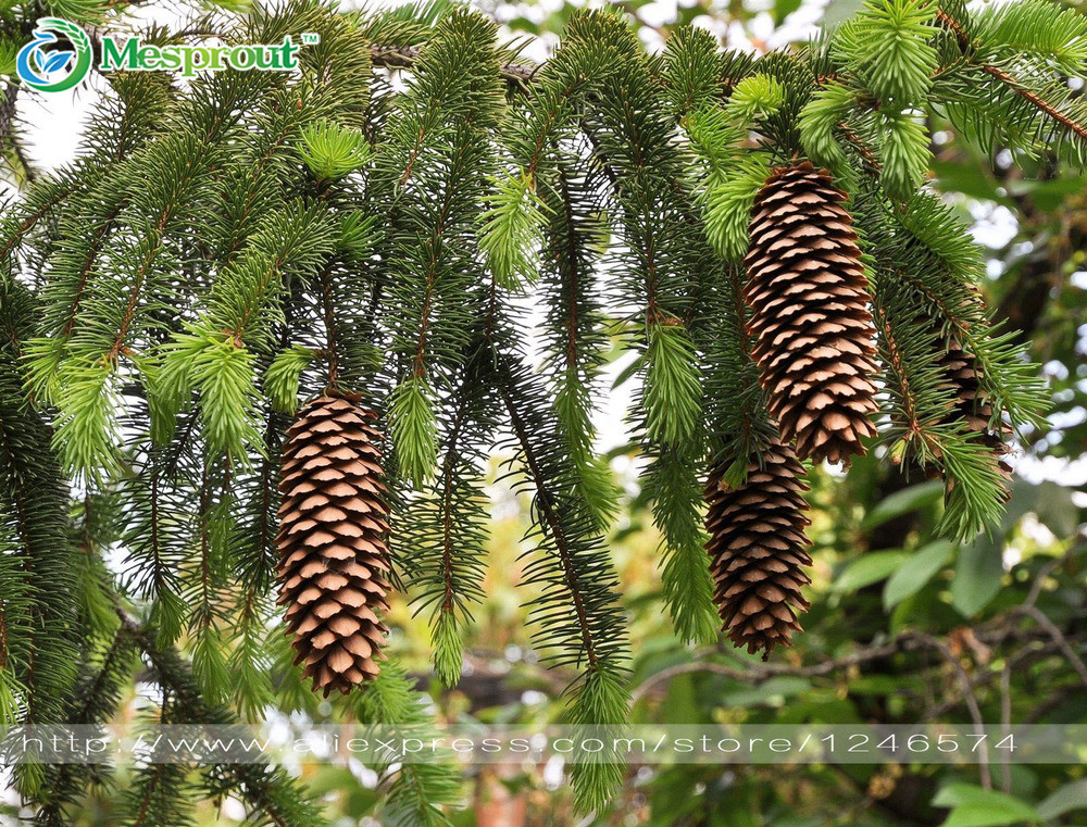 Us 035 49 Off50pcslot Norway Spruce Picea Abies Bonsai Plant Evergreen Diy Home Garden Free Shipping In Bonsai From Home Garden On