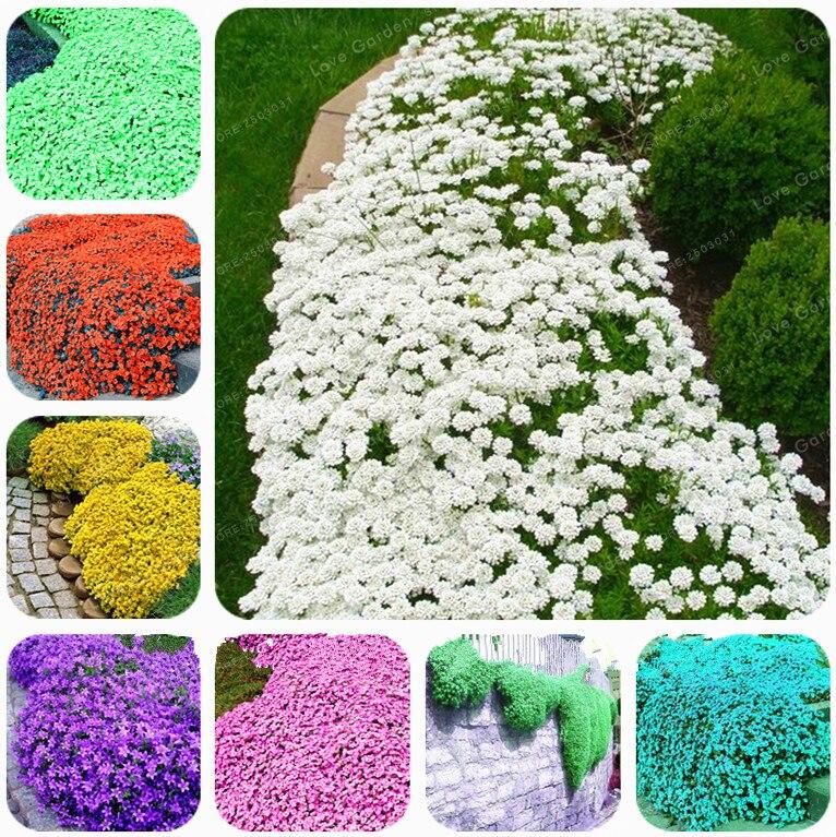 100 Чабрец обыкновенный бонсай цветок бонсай рок Кресс растение напочвенного покрова ковер вечнозеленое растение легко выращивать для сада ...