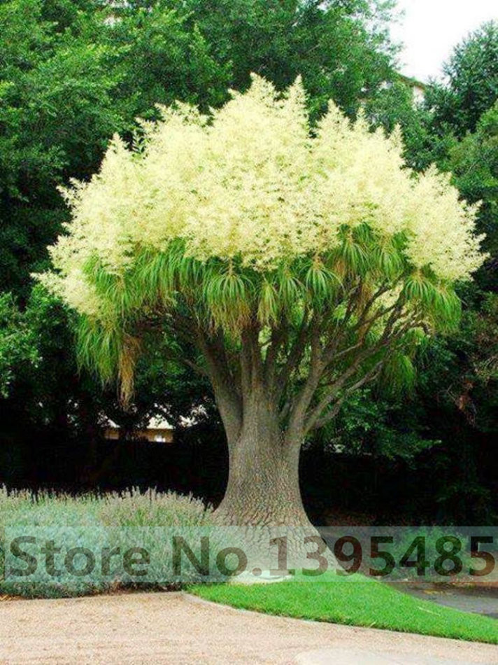 20pcs/bag decorative courtyard garden, 90% germination rate acacia tree flower seeds