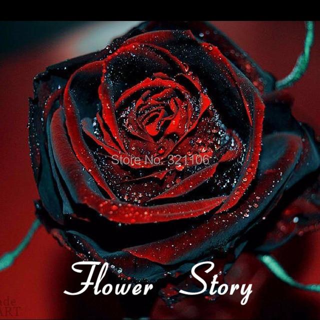 200 Rose Noir Baccara Hybride The Rose Rouge Profond