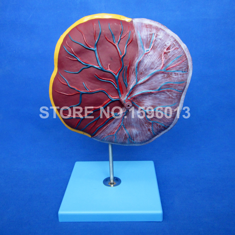 Hot High Quality Anatomical Placenta Model, Umbilical Cord model 3 1 human anatomical kidney structure dissection organ medical teach model school hospital hi q