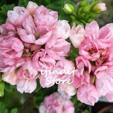 5pcs Geranium Bonsai Apple Blossom Bowl Garden Flowers Perennial Pelargonium Peltatum Indoor Plants for Home Garden Balcony
