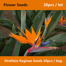 Bird Of Paradise Strelitzia Reginae Seeds 20pcs, Delightful Elegant Strelitzia Flower Seeds, Beautiful Exotic Crane Flower Seeds