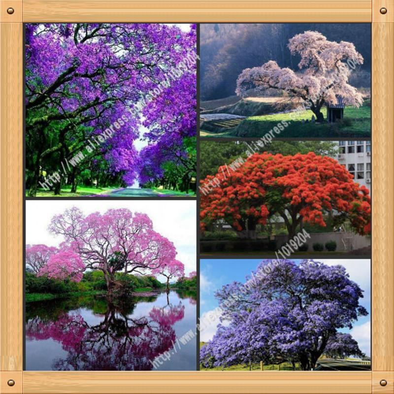 pcs semente paulownia snior roxo sementes de kiri cores diferentes plantas com