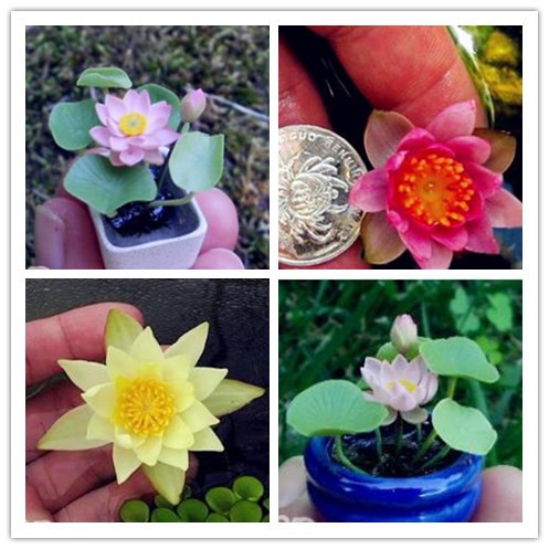 Us 0 21 55 Off Hot Ing 100 Pieces Mix Mini Perennial Flowers Bonsai Many Colors Lotus Plant Teach You The Water Lily In