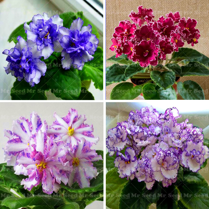 Promotion 100PCS African Violet flower seeds rare garden bonsai plant Perennial Herb flower seed
