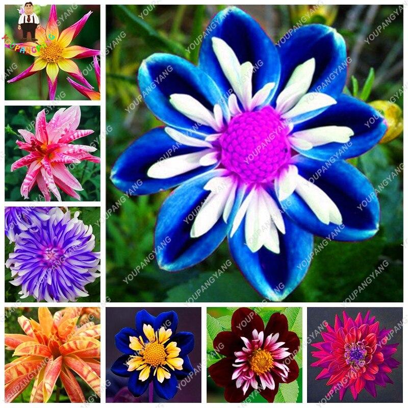 50 pz / borsa Dahlia fiore Arcobaleno dalia piante bonsai fiore piantare fiori balcone in vaso plantas per la casa e il giardino