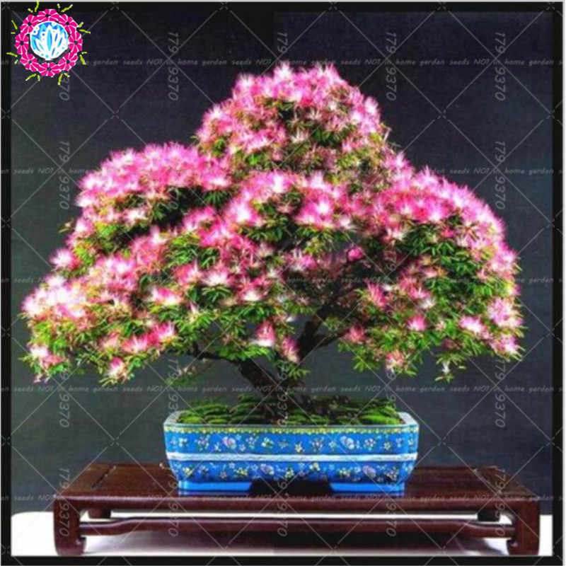 Detail Feedback Questions About 50pcsbag Japanese Acacia Bonsai