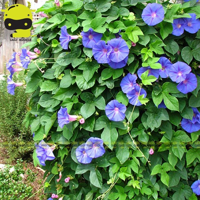 100 Real Heavenly Blue Morning Glory Seeds 50 Pack Ipomoea Nil