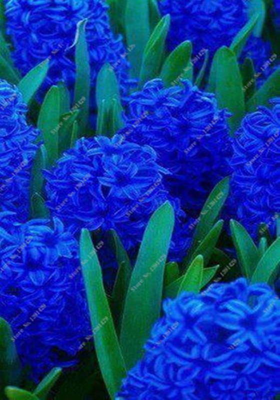 Jacinto azul de los clientes compras en l nea jacinto for Jacinto planta interior