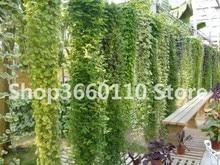 Hot Sale 50 Pcs Chinese Ivy Bonsai DIY Home Garden Plants Rare Climbing Bindwood Anti Radiation Ultraviolet Ray Free Shipping