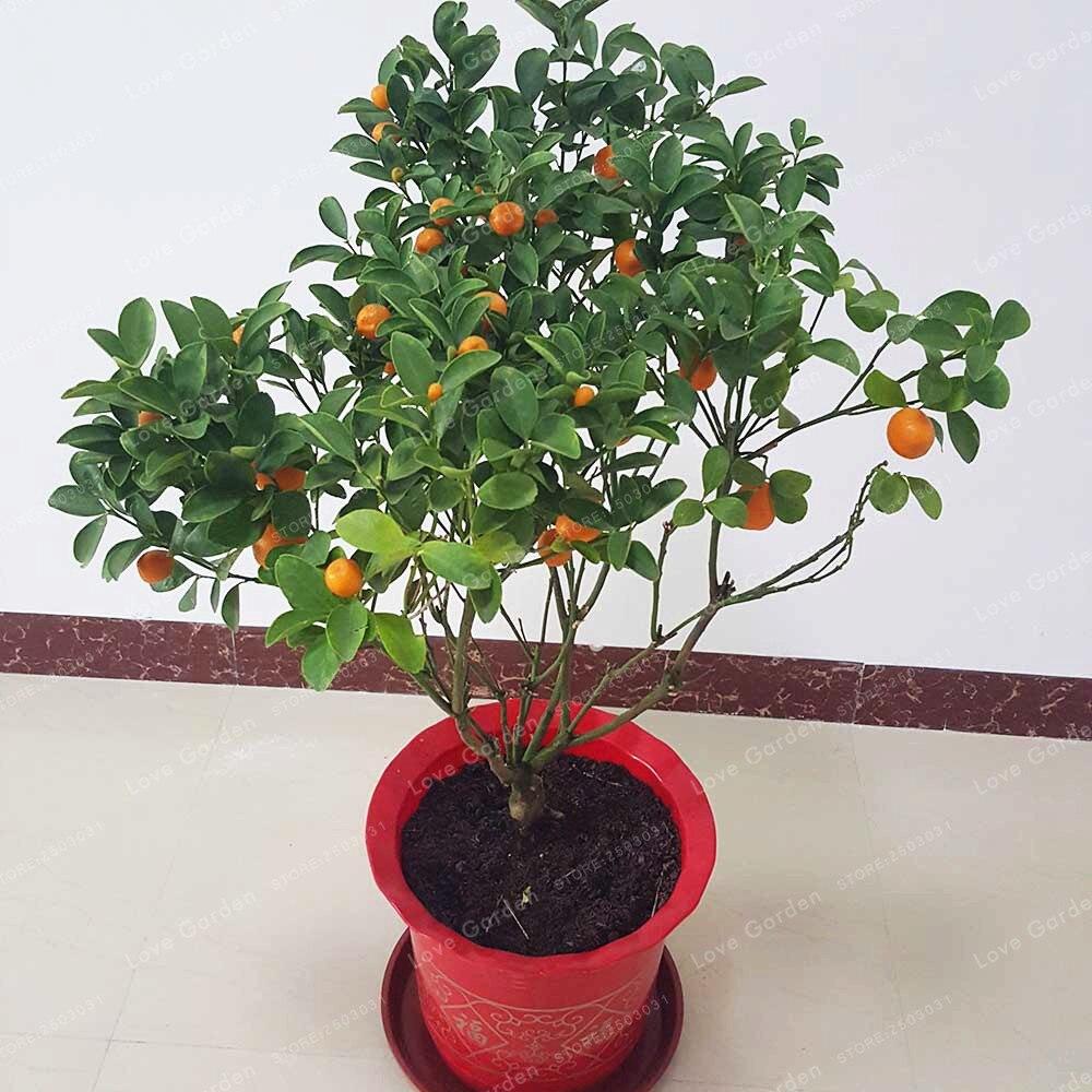 Ganz und zu Extrem Citrus Mitis Bonsai 20 teile/beutel Citrus Baum Bonsai Obst Bonsai @RT_49